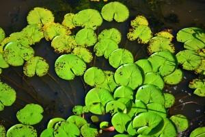 Suriname lelies