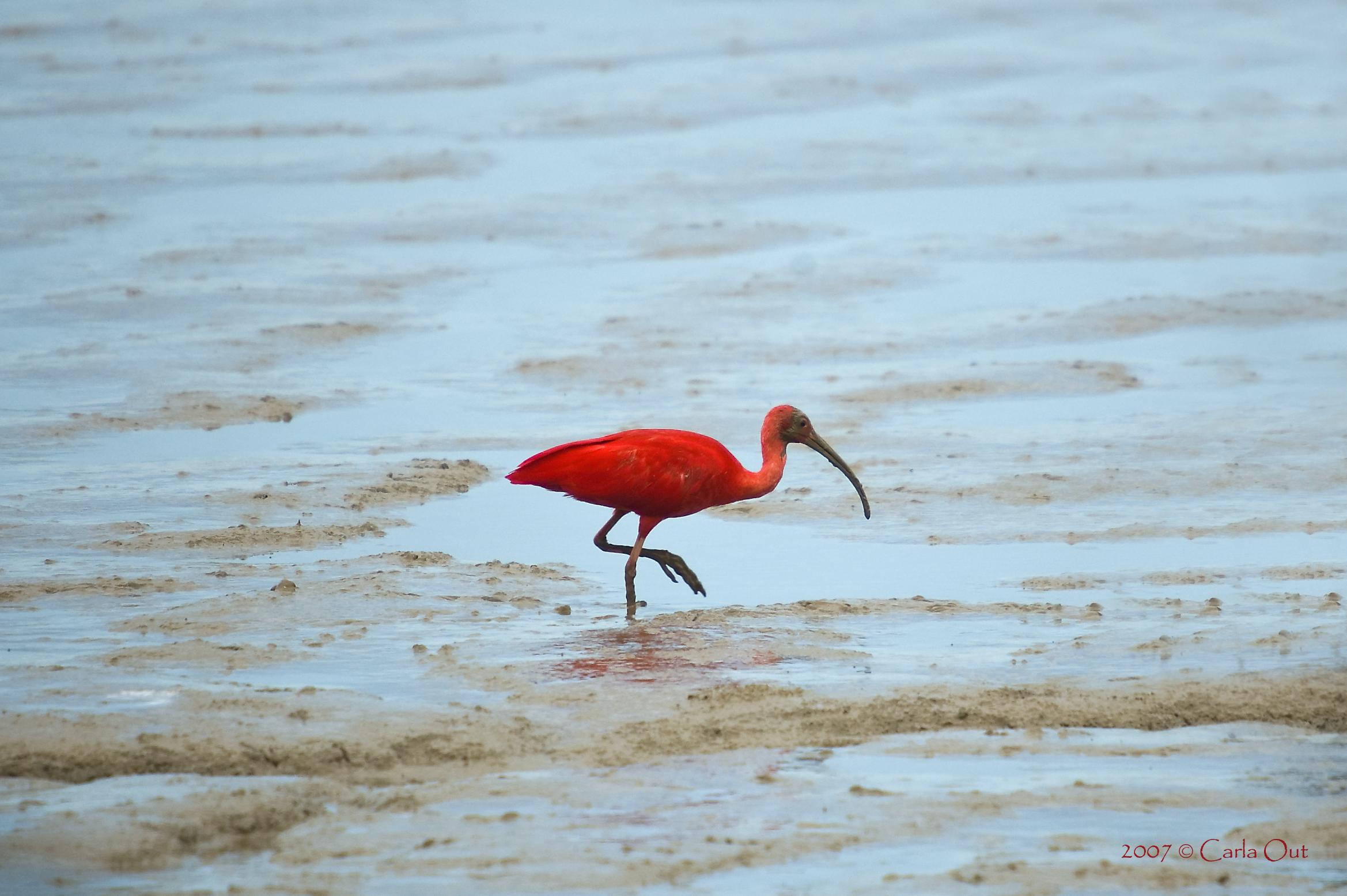 Rode ibis - Bigi Pan