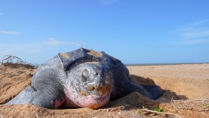 Leatherback turtle Suriname