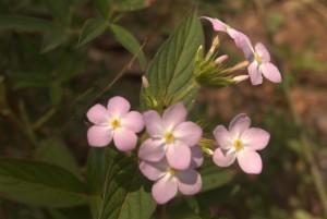 suriname flora