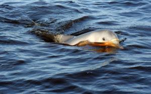 Dolfijnen - Waterproof Tours Suriname