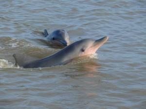 Dolfijnen Waterproof Tours Suriname
