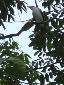black tailed Tityra